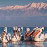 pelican dalm 0135 800x600